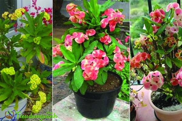 Cây hoa bát tiên - các loại cây cảnh dễ trồng