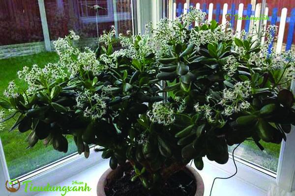Cây ngọc bích - các loại cây cảnh dễ trồng