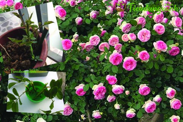 Cách trồng hoa hồng leo Pháp bằng cành giâm