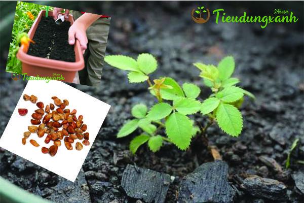 Cách trồng hoa hồng leo Pháp bằng hạt giống