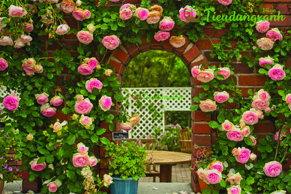 Cách trồng hoa hồng leo Pháp