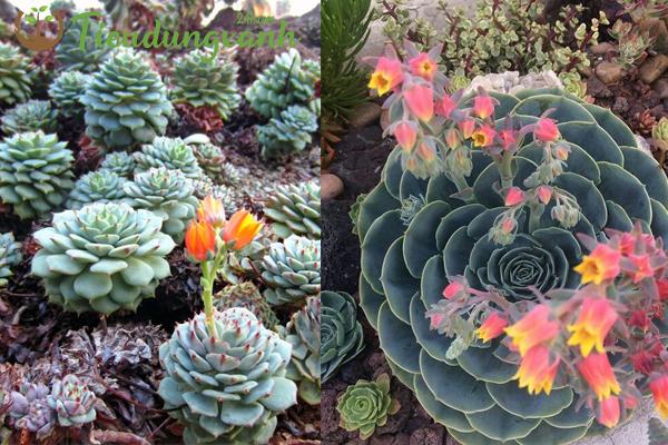 Cách trồng sen đá ra hoa vào mùa đông