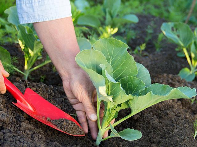Cách xử lý đất trước khi trồng rau