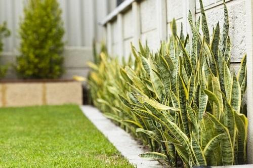 Cây lưỡi hổ nên trồng ở đâu - trồng ngoài sân