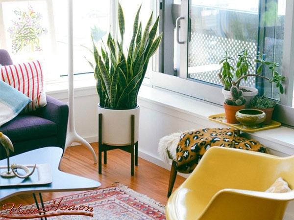 Cây lưỡi hổ nên trồng ở đâu - trong phòng khách
