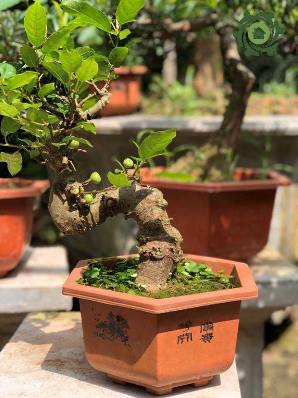 Top 10 mẫu cây sung cảnh mini đẹp nhất hiện nay