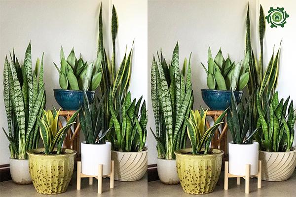 trồng cây phong thủy trong nhà theo tuổi-6