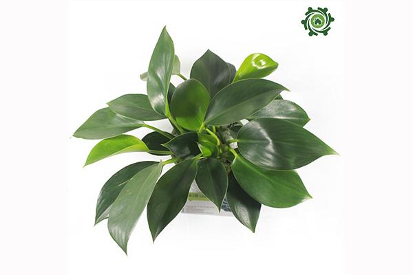 trồng cây phong thủy trong nhà theo tuổi-5