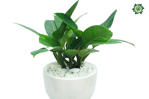 trồng cây phong thủy trong nhà theo tuổi-13