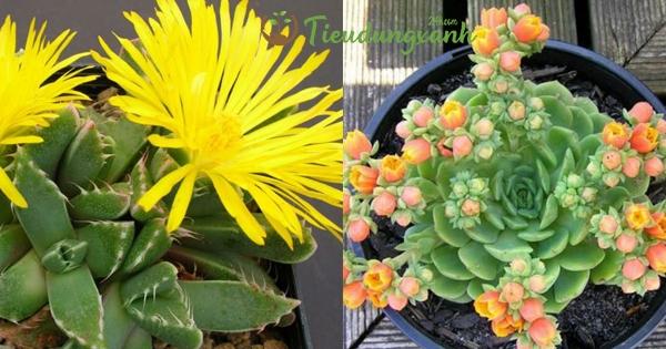 Cách trồng sen đá ra hoa quanh năm không phải ai cũng biết