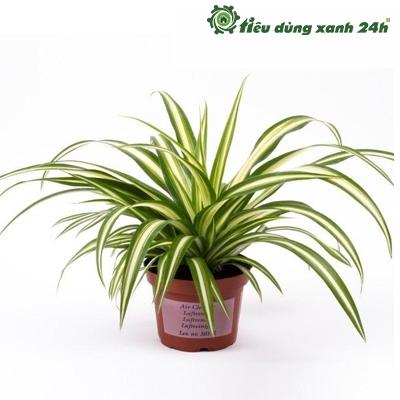 Cây cỏ lan chi để bàn - Mã C02