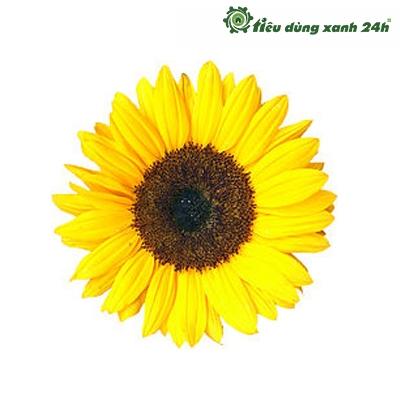 Hạt giống hoa hướng dương - HG03 ( 30 hạt )