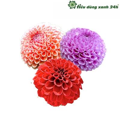 Hạt giống hoa thược dược tổ ong - HG05 ( 50 hạt)
