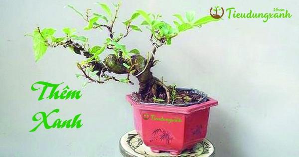 Cây sung cảnh mini - Cách chăm sóc bonsai đẹp mắt